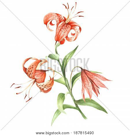 Image Tiger lily flowers. Hand draw watercolor illustration