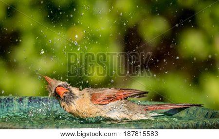 Northern Cardinal (Cardinalis cardinalis) female splashes around in the water of a beautiful green ceramic bird bath