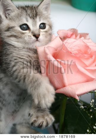 Grey Kitten And Pink Rose