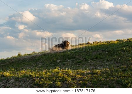 Bull bison wallowing in warm sunshine on top of a sloping green grassy hillside, under a blue sky with white clouds