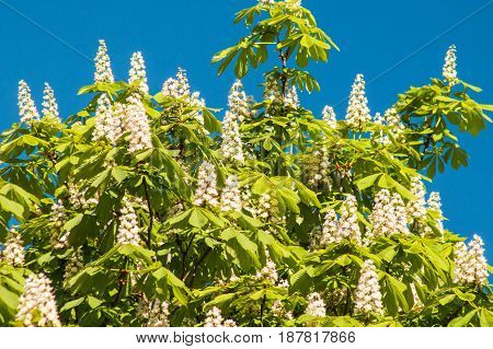 Blooming Chestnut Against The Blue Sky On A Sunny Day