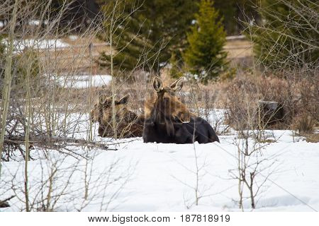 Female moose with two young calves, resting in a snowy forest clearing in winter