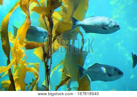 Fish swimming next to Kelp plants taken in the cold waters of the Pacific Ocean at the California Coast