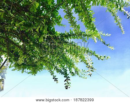 Ecology Concepts Tree Branches with Fresh Green Leaves Againt on Blue Sky. Looking Up View from Below.
