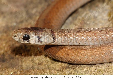 Northern Brown Snake (Storeria dekayi) on a block