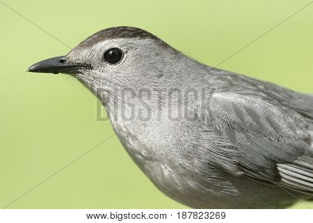Gray Catbird (Dumetella carolinensis) with a green background
