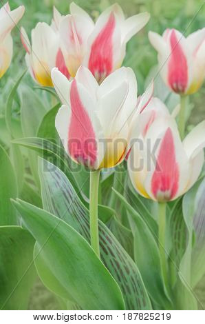 Flower Bed Of Pink  Tulips. Mary Ann Greigii Tulips