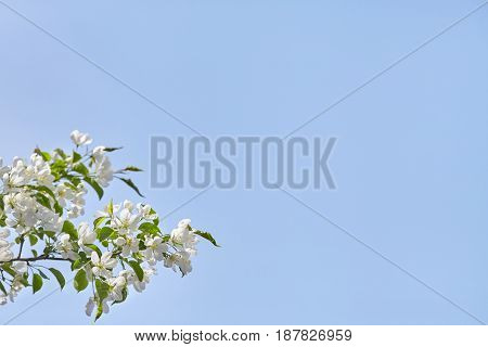 Branch of spring apple tree with white flowers over blue sky copyspace