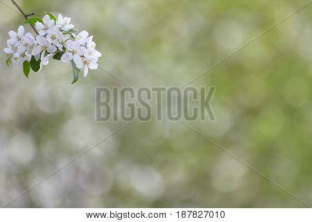 Branch of spring apple tree with white flowers green blooming background copyspace