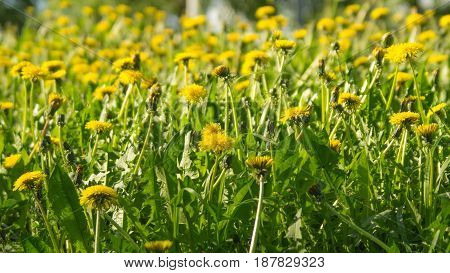 Yellow dandelions in a sunny spring day
