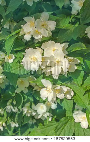 Jasmine Flowers Blossoming On Bush