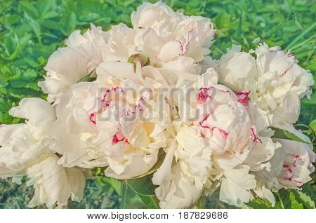 Beautiful White Peonies In The Garden
