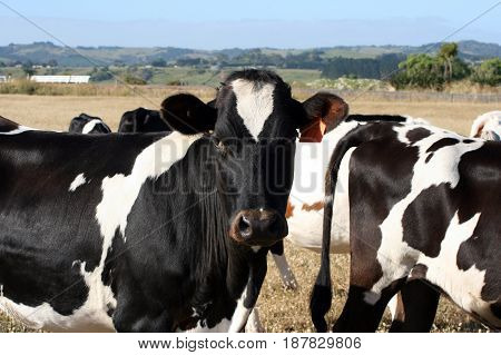 Herd of black and white cows standing in paddock.