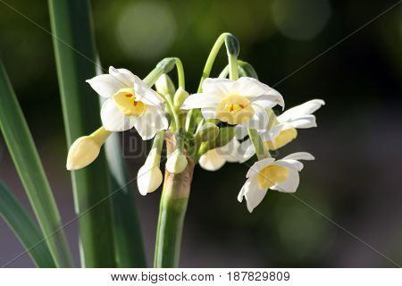 Yellow and white Jonquil's flowering in the spring