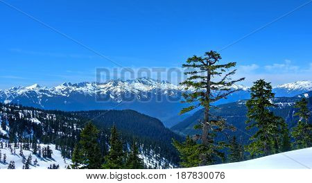 Lonely tree and snowcapped mountains. Douglas Fur tree on the popular trail to Elfin Lakes near Vancouver and Squamish. British Columbia. Canada.