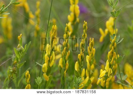 Flowers of a dyer broom (Genista tinctoria) a plant used for dyeing and as medical plant.