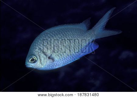 A member of the Damselfish family, a Yellow Speckled Chromis (Chromis alpha) at the Kwajalein Atoll in the Pacific
