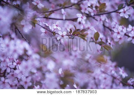 Flower Background In Spring Or Summer Nature In Japan, Design