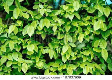 Green Leaves Background In Spring Or Summer Season Garden