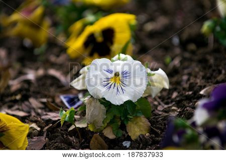 Violet Flowers Or Pansy With Colorful Petals On Ground Flowerbed