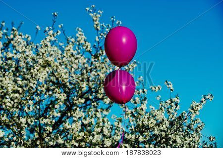 pink party balloons at white blossoming cherry tree flowers on blue sky background in sunny spring outdoor copy space birthday celebration holiday