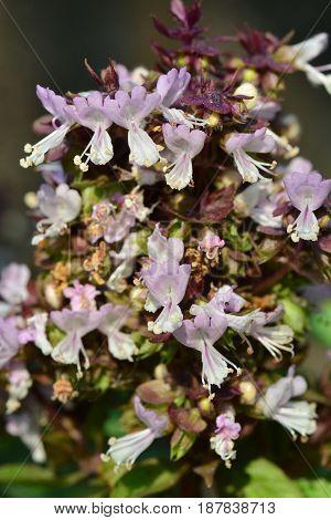Sweet Basil Thai Basil Ocimum basilicum Linn (flower)