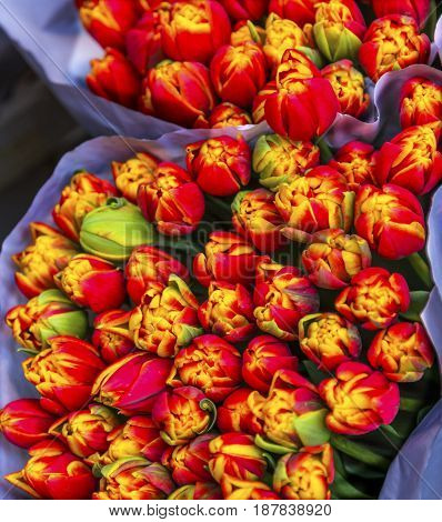 Red Yellow Tulips Flowers Bloemenmarket Flower Market Amsterdam Holland Netherlands. Red Tulips perrenial bulb flower are a symbols of love.
