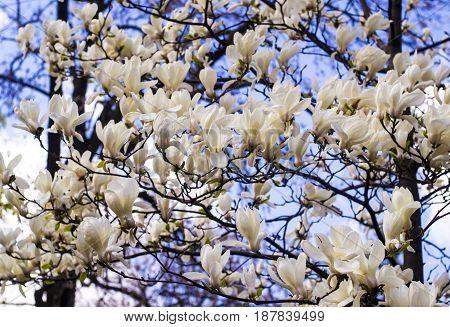 White magnolia. Creamy blossom of white magnolia tree. Beautiful creamy magnolia flower. Magnolia flower in Botanic garden.