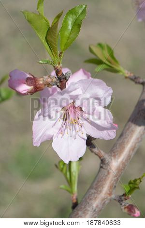 Peach tree flowers, natural background, spring, nature