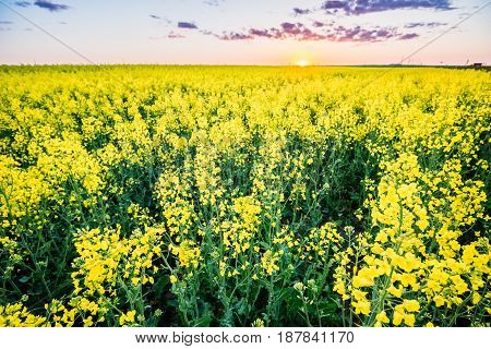 Agriculture canola in the field at sunset. Summer, landscape