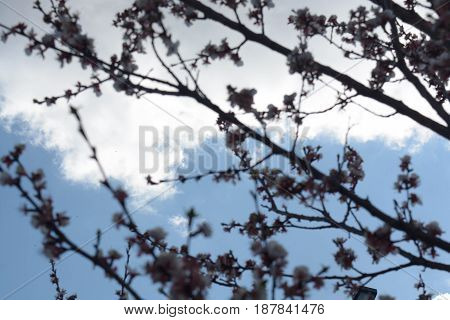 Apricot tree flowers, natural background, spring, nature