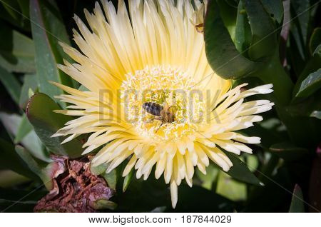 Bee pollinating to yellow flower with green bottom