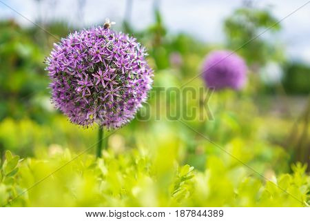 Close up shot of purple alliums flowers in gardens.