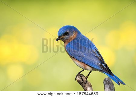 Eastern Bluebird (Sialia sialis) male perched with yellow and green bokeh background