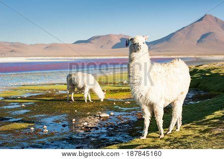 White alpaca on the Laguna Colorada Altiplano Bolivia.