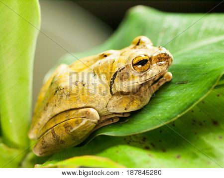 Common Tree Frog siting on leave - Polypedates leucomystax
