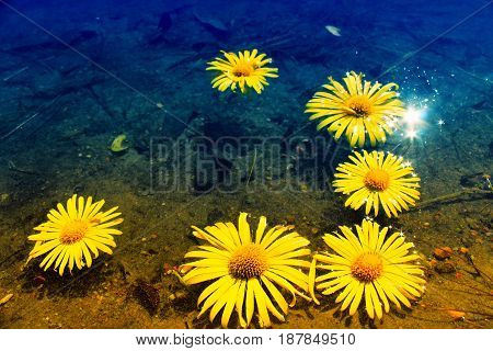 Yellow daisies on the water. Beautiful background