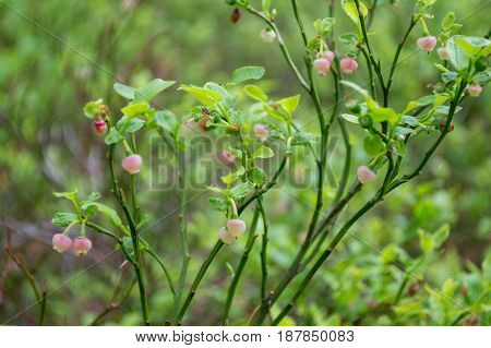 Branch of blueberries in growth. Blooming  in the forest. Soft focus
