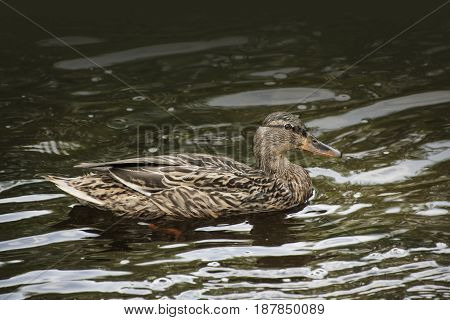 Female mallard on the lake ( Anas platyrhynchos )