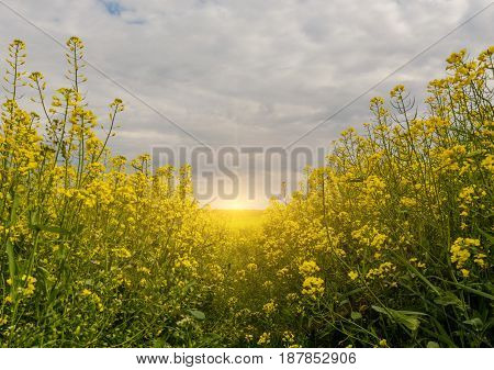 Golden rape field with blue cloudy sky