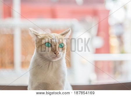 Closeup cute cat with beautiful green eye sit on table on blurred house view background
