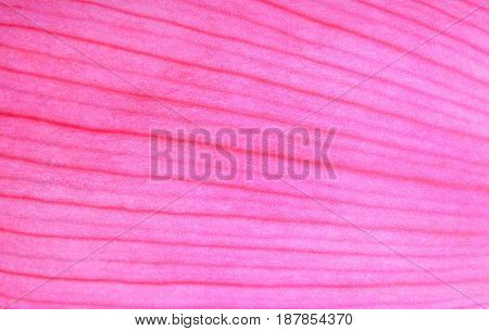 pink lotus petal close up for abstact background
