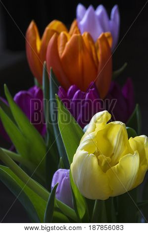 Several colorful tulips on the black background