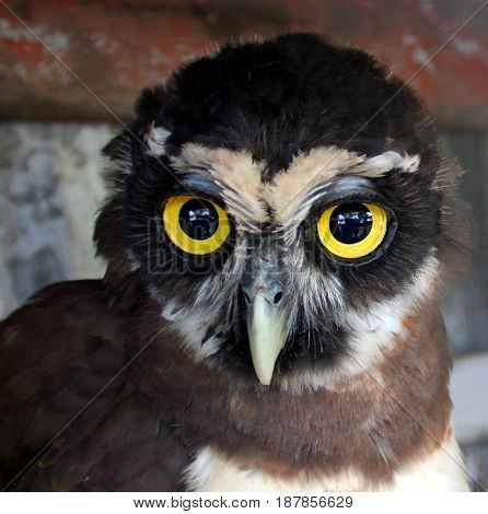 Portrait of young owl chick in Galibi Maroni Suriname