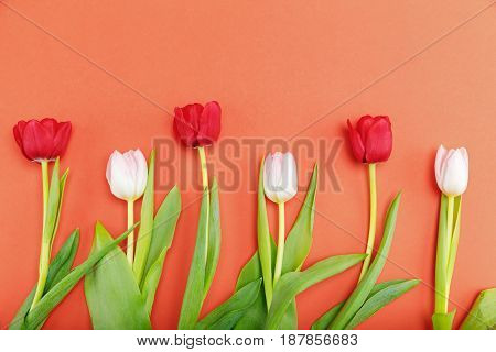 Close-up View Of Beautiful Tender Pink And Red Tulips With Green Leaves Isolated On Red