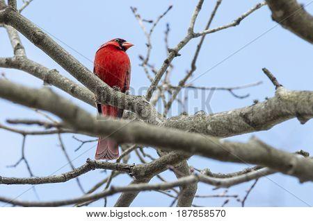 Northern Cardinal giving evil eye to intruder