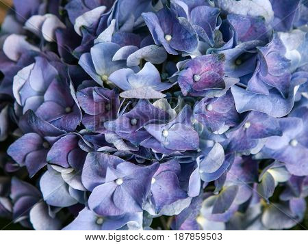 Hortensia purple flowers closeup background. Floristry catalogue, nature, florist work, gift backdrop concept