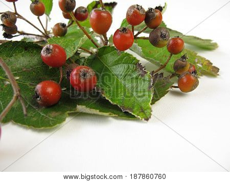 Twigs with red whitebeam fruits and leaves