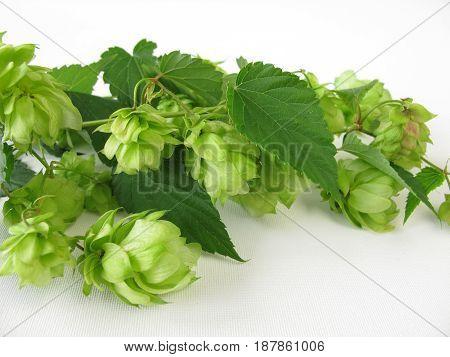 Twigs of hops with hop cones and leves
