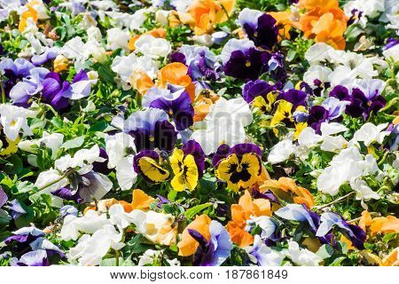 Closeup of colourful flowerbed made of white orange yellow and purple pansies growing outdoor